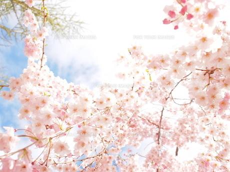 桜 FYI00203119