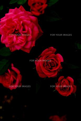 深紅の薔薇 FYI00212873