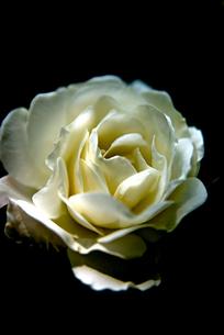 白い薔薇 FYI00212876