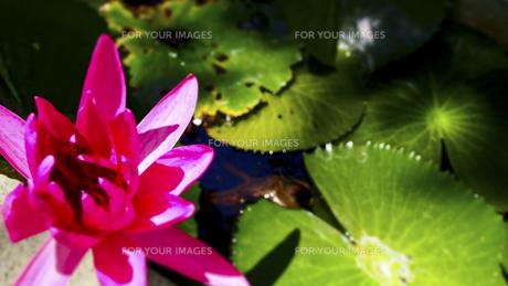 蓮の花 FYI00213046