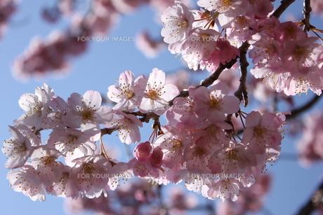 満開の桜 FYI00213354