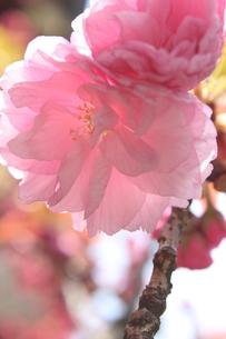 八重桜 FYI00213356