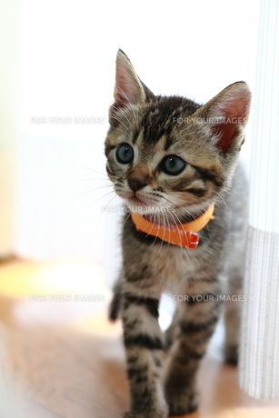 オレンジ色の首輪の子猫 FYI00213361