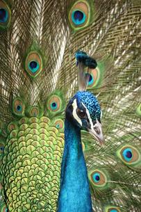羽を広げた孔雀 FYI00213362