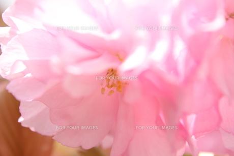 八重桜の接写 FYI00213363