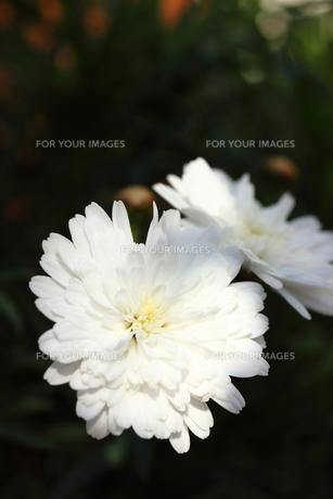 白いマーガレット FYI00213370