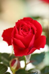 赤いミニバラ FYI00213371