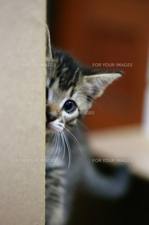 覗き見する子猫 FYI00213372