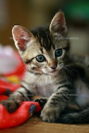 赤いタオルと子猫 FYI00213373
