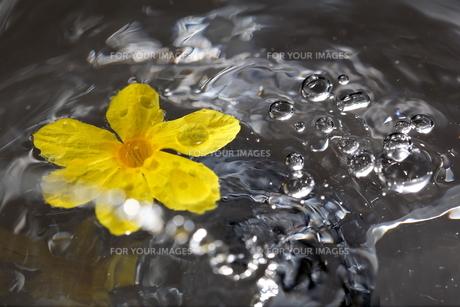 水の動きと黄色の花 FYI00213374