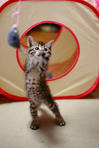 おもちゃで遊ぶ子猫 FYI00213375