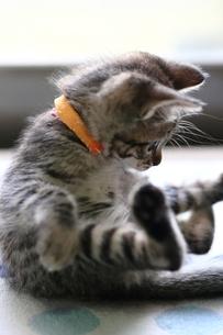 足をあげて座る子猫 FYI00213376