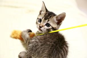 ねこじゃらしと子猫 FYI00213377