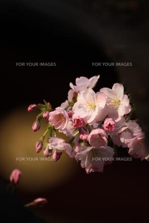 花束のような桜 FYI00213379