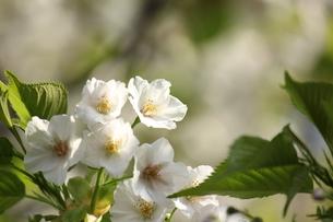 白い桜 FYI00213380