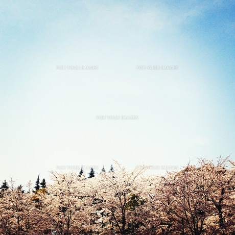 トーキョーの桜 FYI00213962