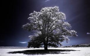 ハルニレの木 FYI00213988