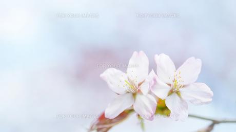 桜 FYI00214081