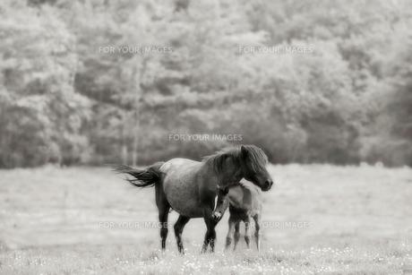 馬の親子 FYI00214133