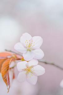 桜 FYI00214292