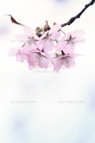 桜 FYI00214309