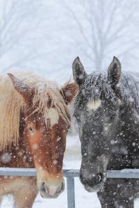 冬の馬 FYI00214339