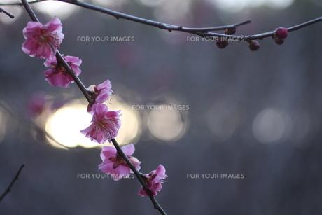 光の粒をバックにした梅の花 FYI00216045
