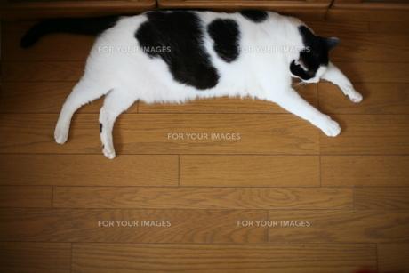寝る猫 FYI00216056
