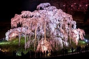 滝桜の素材 [FYI00217118]