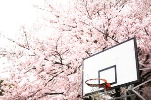 桜とバスケットゴール FYI00219348