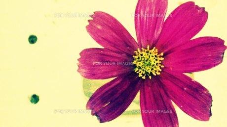 紫のコスモス FYI00219443