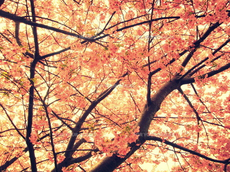 満開の桜 FYI00219467
