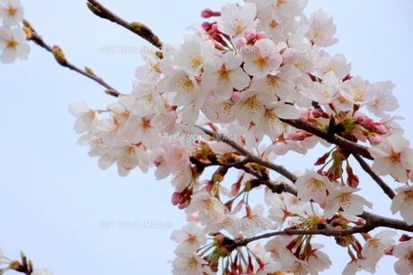 満開の桜の枝葉 FYI00219483