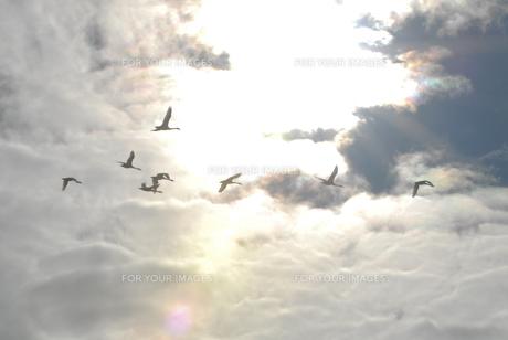 雨雲の切れ目を飛ぶ白鳥たち FYI00219495