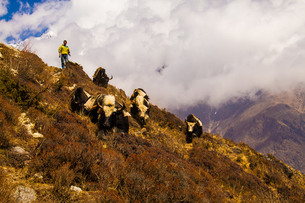 ネパールのヤク FYI00222053