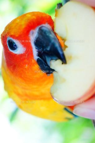 りんごを食べるインコ FYI00222851