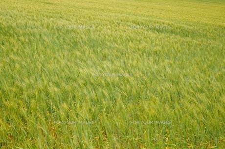 麦畑 FYI00222861