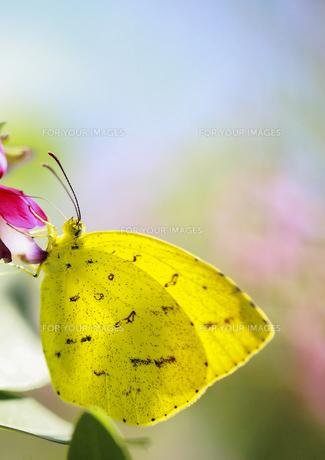 萩の花で休むキチョウ FYI00224133