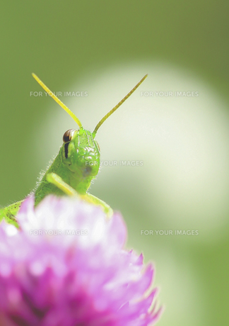 イナゴの視線 FYI00224152