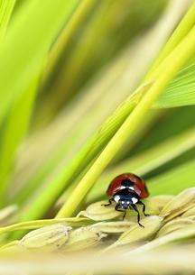 米とてんとう虫 FYI00224197
