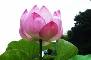 蓮の花 FYI00225661