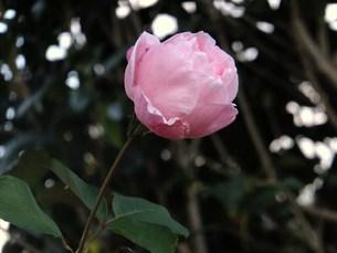 ピンクのバラ FYI00225664