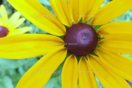 黄色い花 FYI00225666