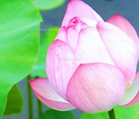 蓮の花 FYI00225667