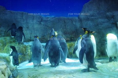 ペンギンたち FYI00225682