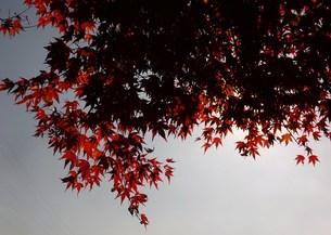 熊本県菊地市 紅葉 FYI00225687