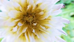 たんぽぽの花 FYI00225689