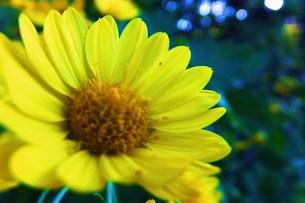 黄色い花 FYI00225697