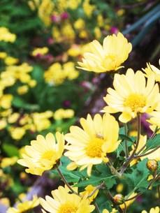 黄色い花 FYI00225700