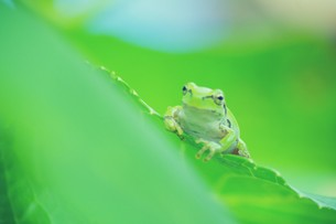 紫陽花の葉と蛙 FYI00226135